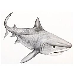 10/365 Tiger Shark
