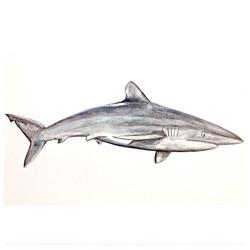 6/365 Silky Shark