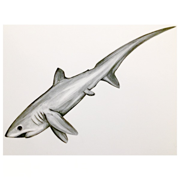 2/365 Pelagic Thresher Shark