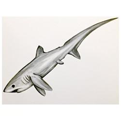 2/365 Pelagic Thresher Shark