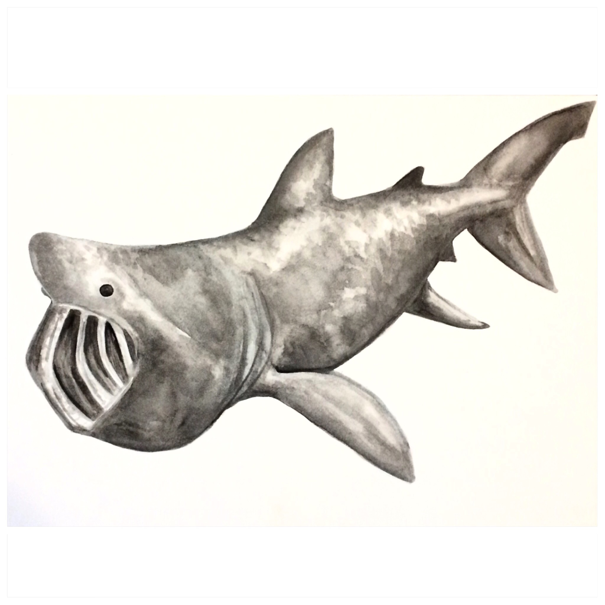 18/365 Basking Shark