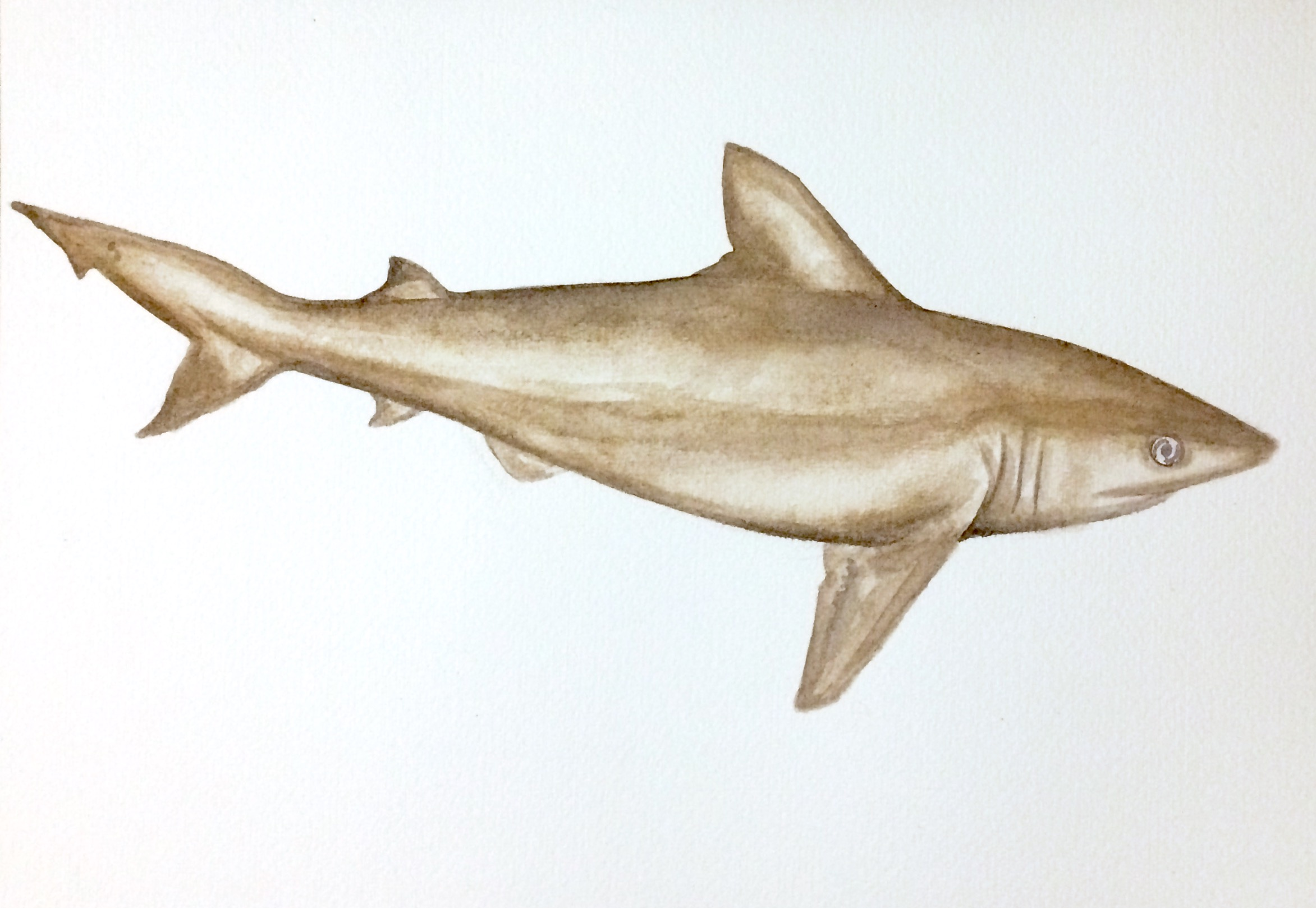 30/365 Whitecheek Shark