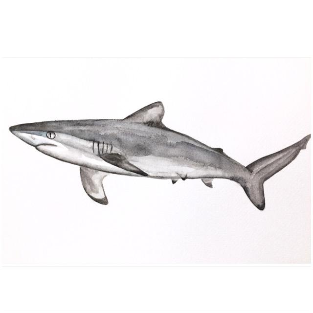 24/365 Spinner Shark
