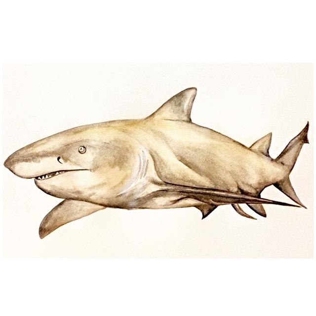 8/365 Lemon Shark