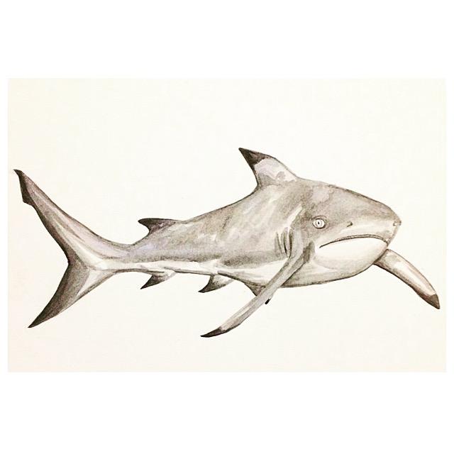 1/365 Blacktip Reef Shark