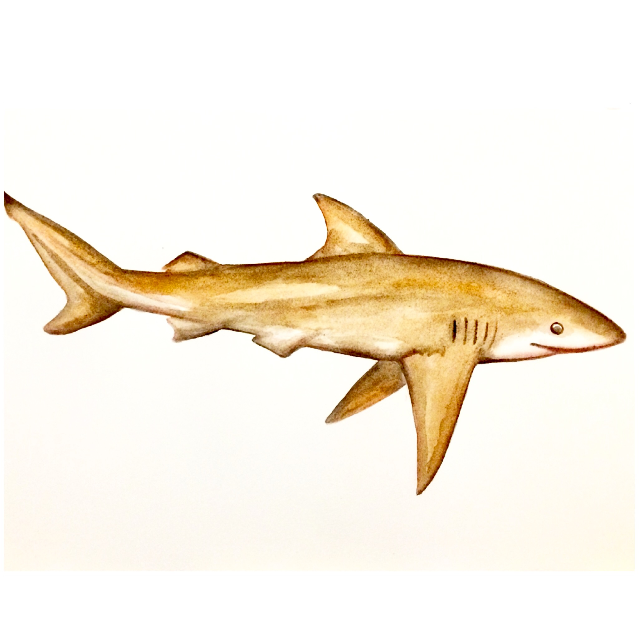 21/365 Copper Shark