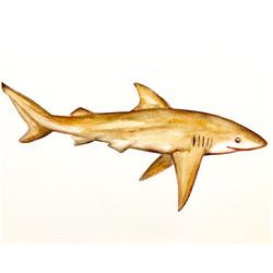 21/365 Copper Shark