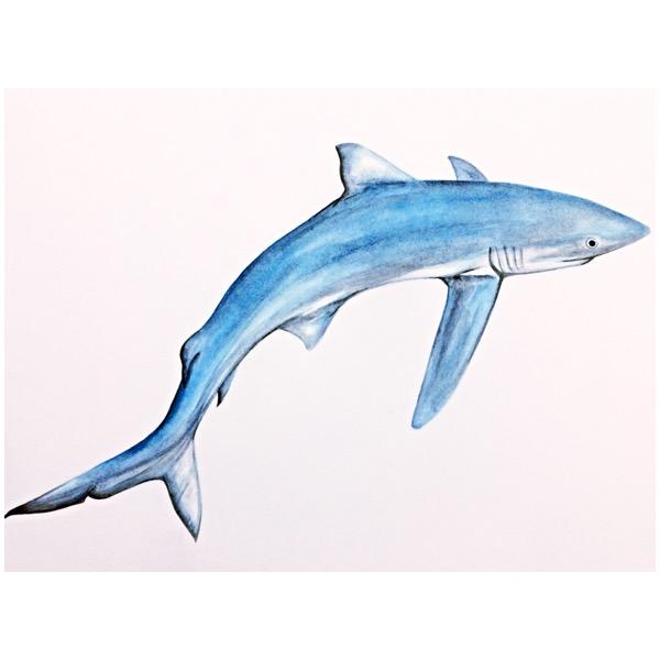 4/365 Blue Shark
