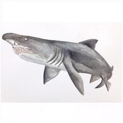 26/365 Sand Tiger Shark
