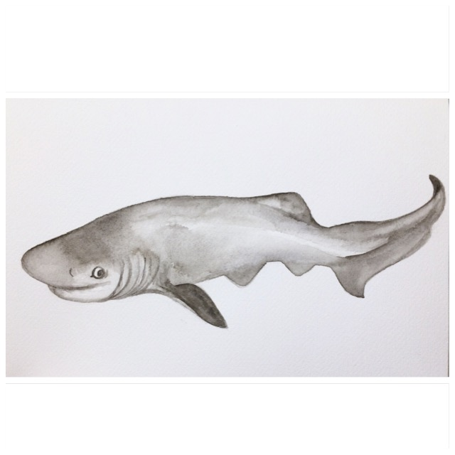 23/365 Bluntnose Sixgill Shark