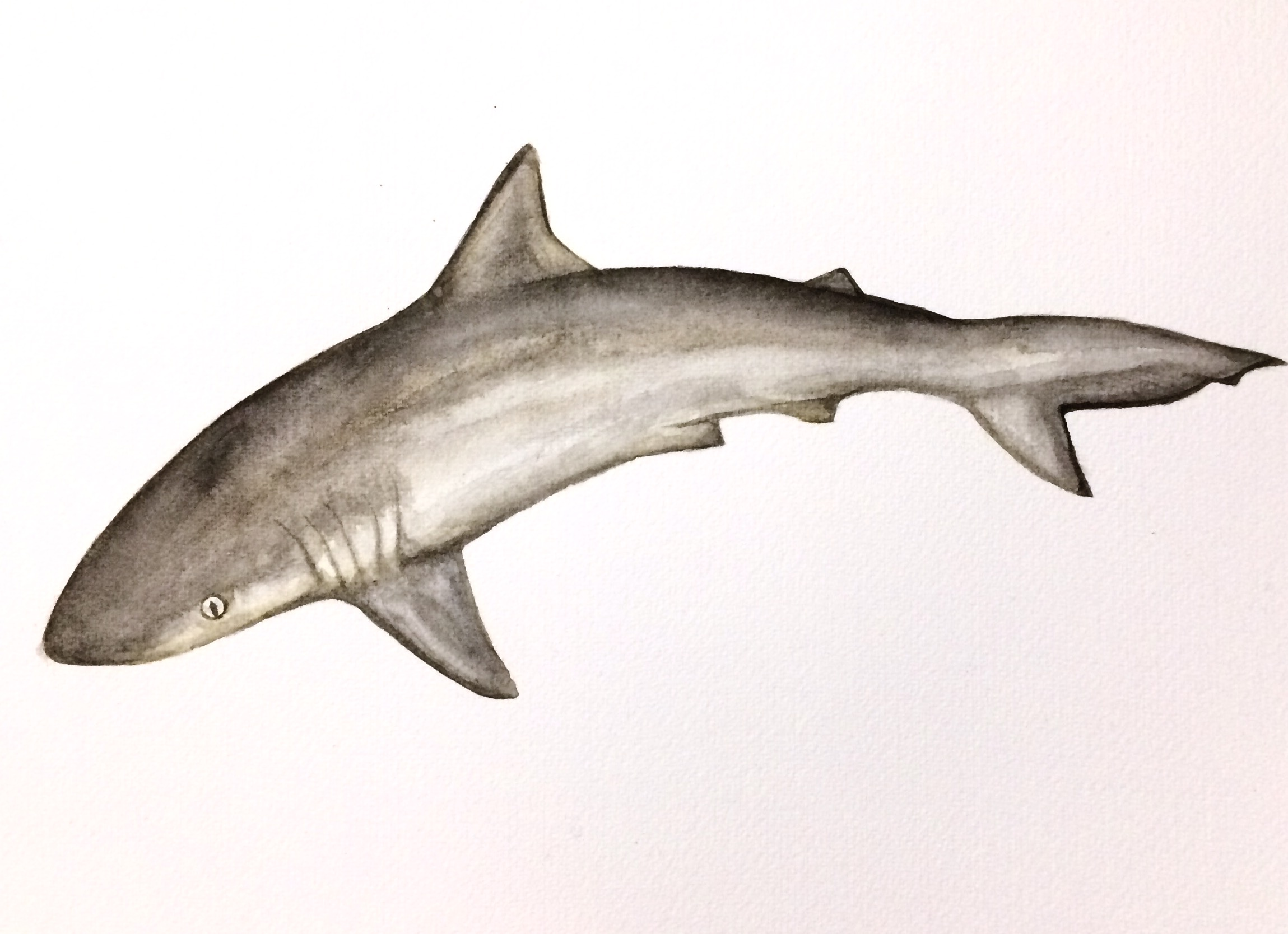 31/365 Atlantic Sharpnose Shark