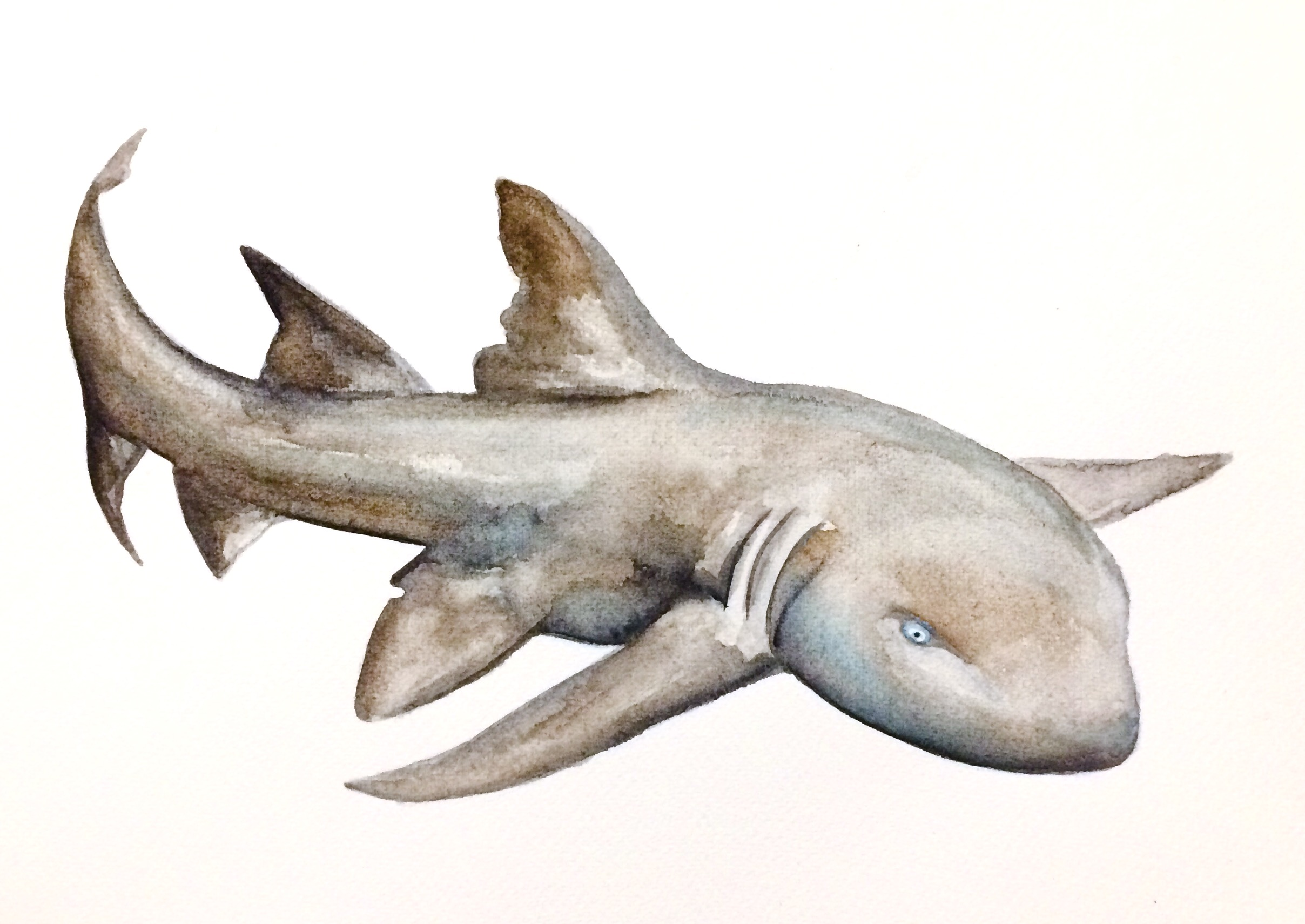 27/265 Grey Nurse Shark