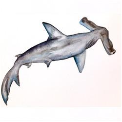 25/365 Winghead Shark