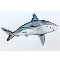 22/365 Silvertip Shark
