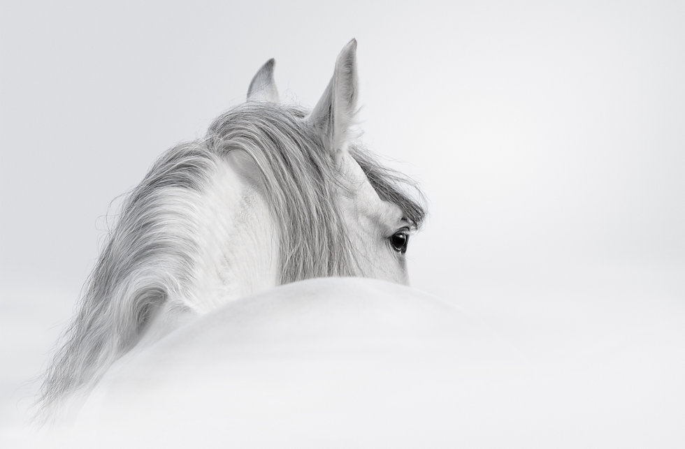 Gray Andalusian horse in a mist_edited.j