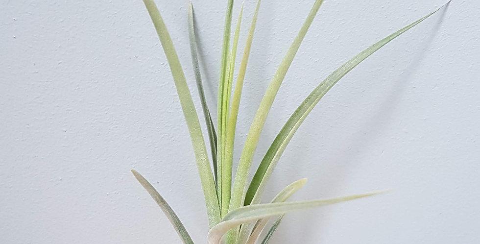 albertiana x recurvifolia