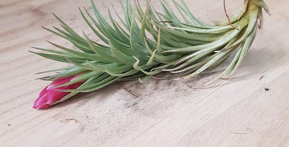 T. tenuifolia var. Vaginata