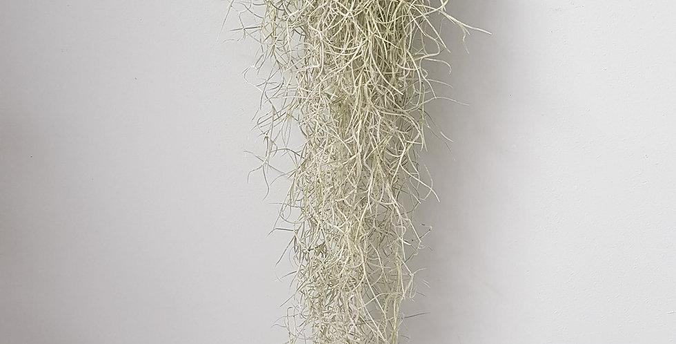usneoides 50-60 cm