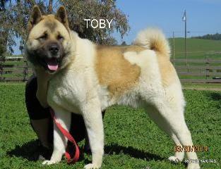 "ROYALTY'S BIG TEDDY  BEAR                      ""TOBY"""