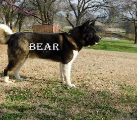 BEAR_800-379x242.jpg