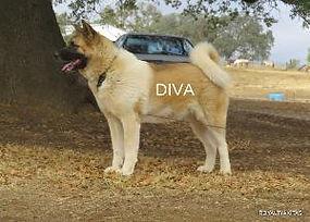 DIVA_105-300x215.jpg