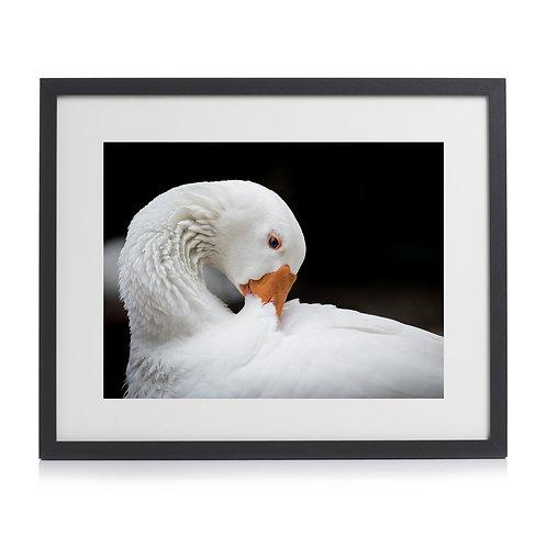 Swan Print by Juliet Hedges-Robin