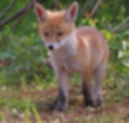 donate-baby-fox.png