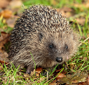 donate-hedgehogs.png