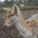 wildlife-deer.png
