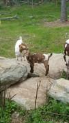 Spotted Boer, Mean Goat Boy