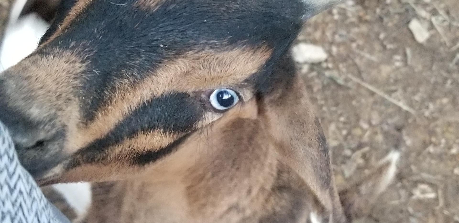 blue eye boy goat for sale.jpg