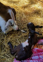 mini nubians just born.jpg