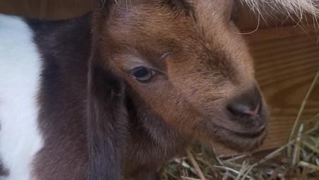 Cotton Bean Goat Farm sale.jpg