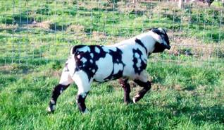 Max boer goat dappled buck for sale.jpg