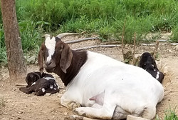Cookie had Boer Twins