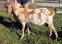 Maggie dam milk goat for sale.webp