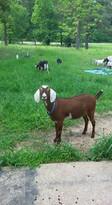 Sonflower Ranch Tippy Mini Nubian.jpg