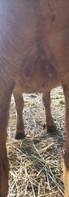 Red boer goat for sale charlotte nc.jpg