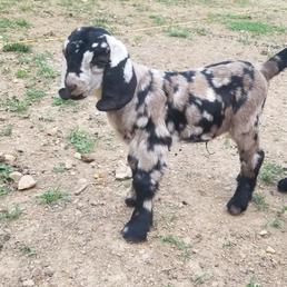 Dappled black gray boer doeling breeder.