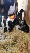 triplet baby goats for sale albemarle nc