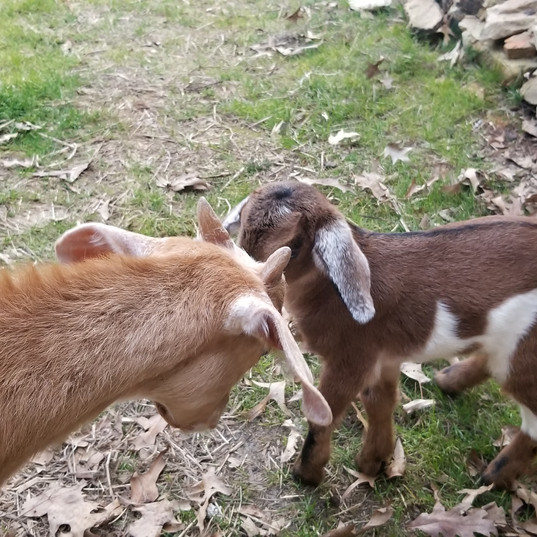 Our F1 mini nubian buckling, Nugget, is super sweet with little Denver goat!