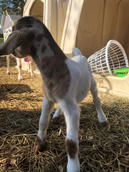 daffys moon spotted baby goat.jpg