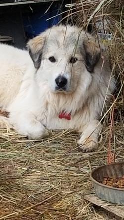 Jasper, AKC Male