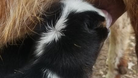 Bottle Baby Cotton Bean Goat farm.jpg