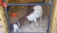 Hazel is the daughter of Chesnut.  We adopted this famiuy of Boer goats in Jan of 2020.