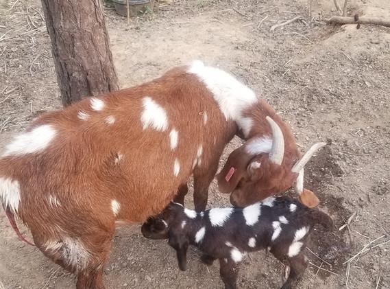 Dappled boer buck nany goats.jpg