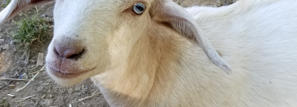 Blue eyes baby goat for sale NC.jpg