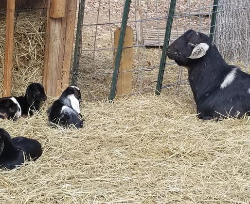mini nubian goat family breeder mt pleas