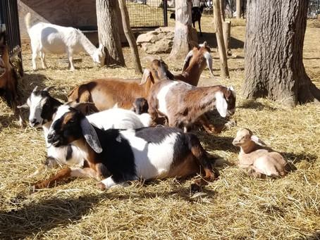 Our crew of Mini Nubian Goats are enjoying the sunshine