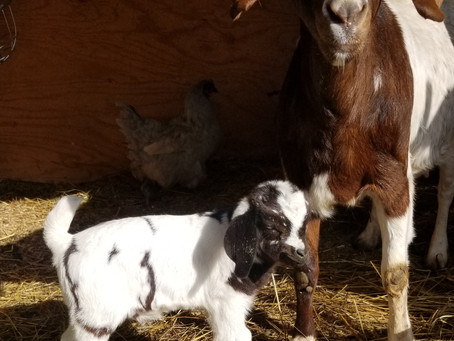 Will hold this Boer Buckling goat until weaning with deposit.